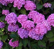 Pink and Purple Hydrangeas by BlueMoonRose