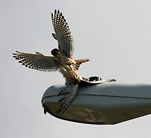 Kestrel Falcons Battle for a Grasshopper by DARRIN ALDRIDGE