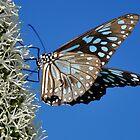Flutter By - Blue Tiger Butterfly by Barbara Burkhardt