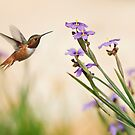 Blue-eyed Grass Wildflowers and Rufous Hummingbird by Susan Gary
