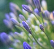 Agapanthus Buds by sobriquets