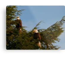 Two Bald Eagles  Metal Print