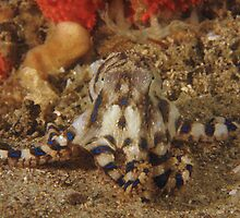 Blue Ring Octopus by Matt-Dowse