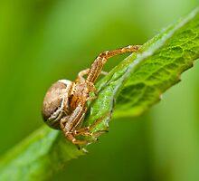 Crab spider on green leaf by teva-art