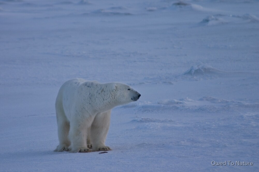 Polar bear's dusky profile by Owed To Nature