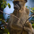 Vervet Monkey, Okavango, Botswana by Neville Jones