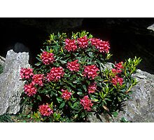 Rododendro rosso (Rhododendron ferrugineum) Photographic Print