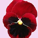 Red Pansy on Pink Background by Kathryn Jones