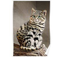 Cool African Black-footed Cat Poster