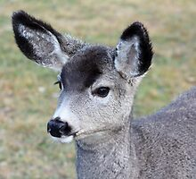 Young Mule Deer by Alyce Taylor