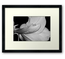 Amaryllis Flower about to Bloom in black and white Framed Print