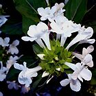 Cluster of white flowers by ♥⊱ B. Randi Bailey