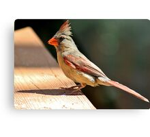 Female northern cardinal in the morning sun Metal Print