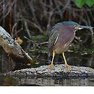 little green heron by Margaret  Shark