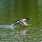 RUNNING MALLARD by Gregory Bell