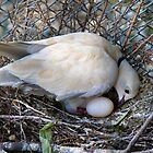 Perfect Beginning - Mother &amp; Child - African Collared Dove - NZ by AndreaEL