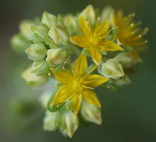 Yellow Succulent Emerging by Michael Matthews
