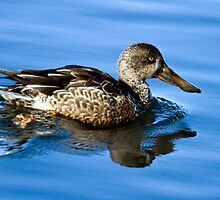 Northern Shoveler Duck - Female by Forrest  Ray