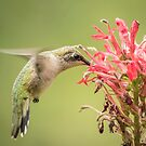 Ruby Throated Hummingbird 10-2015 by Thomas Young
