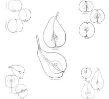 Gracefully Shaped Fruit: assemblage of 1906 illustrations by gumbogirlonline