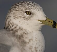 Portrait of a Sea Gull by KAREN SCHMIDT