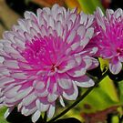Chyrsanthemums - Purple by teresa731
