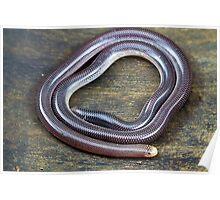 Blind Snake, Ramphotyphlops proximus Poster