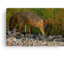 Gray Fox Hunting for Voles Canvas Print