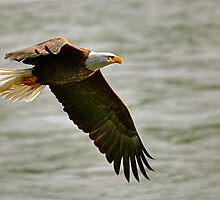 Low Flying Bald Eagle by Monte Morton