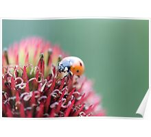 7 spotted ladybug Poster