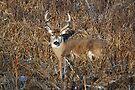 bedding whitetail buck by Rodney55