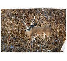 bedding whitetail buck Poster