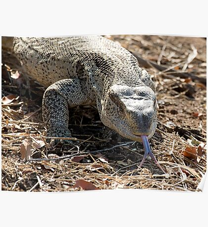 African Rock Monitor Poster