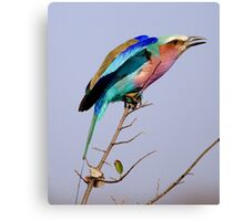 Lilac Breasted Roller - Pre Flight Check Canvas Print