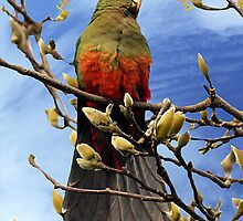 King Parrot - Hello from Drouin by Bev Pascoe