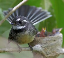Grey Fantail and nest by Steve Axford