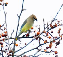 a Cedar waxwing considering which berry is best by Lenny La Rue, IPA