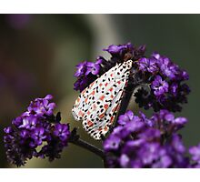 Crimson-speckled moth Photographic Print
