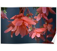 Trailing Begonia in red Poster