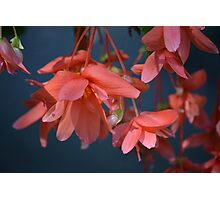 Trailing Begonia in red Photographic Print