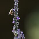 Beyond Lavender by Gary  Davey (Jordy)