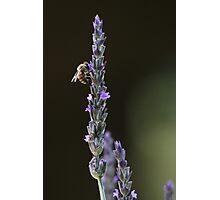 Beyond Lavender Photographic Print