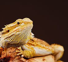 Central Bearded Dragon (Pogona vitticeps) by Shannon Benson