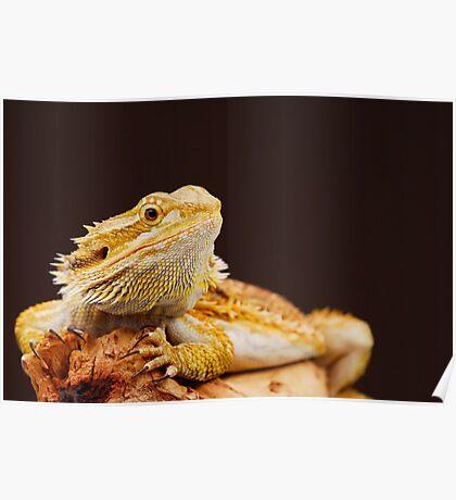 Central Bearded Dragon (Pogona vitticeps) Poster