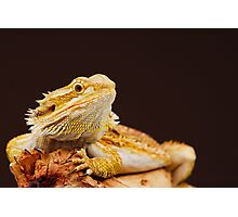 Central Bearded Dragon (Pogona vitticeps) Photographic Print
