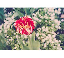 Spring Tulip Photographic Print