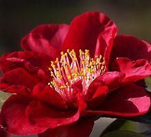 Camellia's In Style by Joy Watson