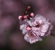Delightful Pink Prunus by Joy Watson