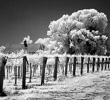 The Vineyard - Mildura by Hans Kawitzki