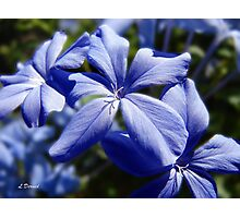 Blue Plumbago Photographic Print